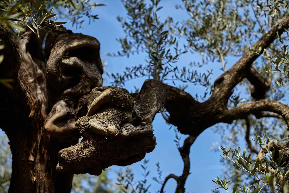 Adoptez un olivier